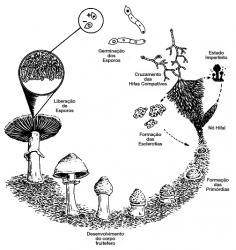 Kit de cultivo de Psilocybe cubensis